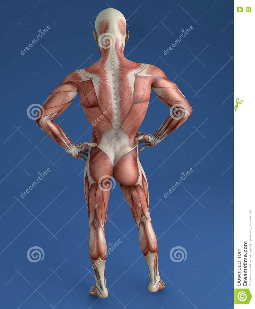 Human Body Muscular System Back View Stock Illustration
