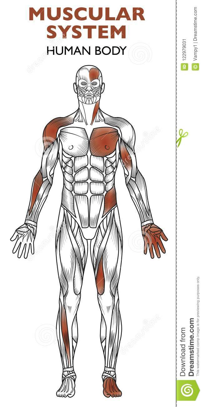 Human Body Muscular System Man Anatomy Frontal View Stock Vector