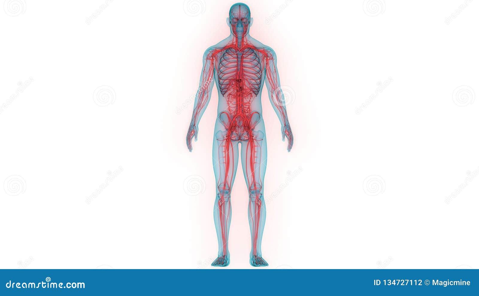 Human Body Nervous System Anatomy Stock Illustration Illustration