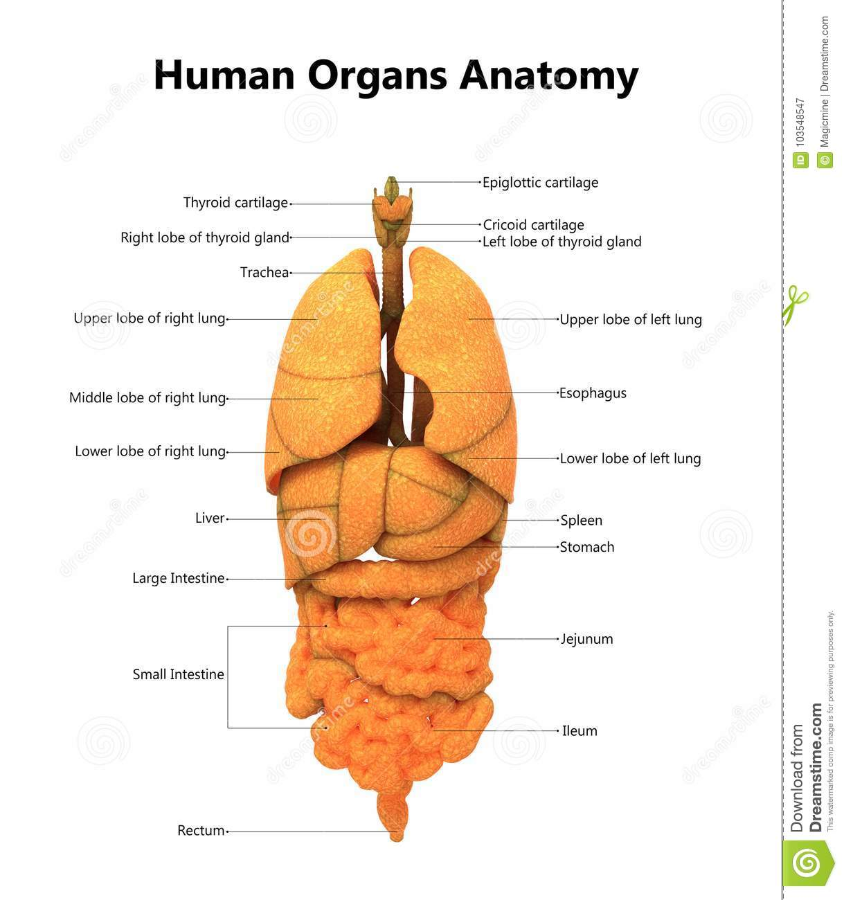 Human Body Organs Anatomy With Detailed Labels Stock Illustration