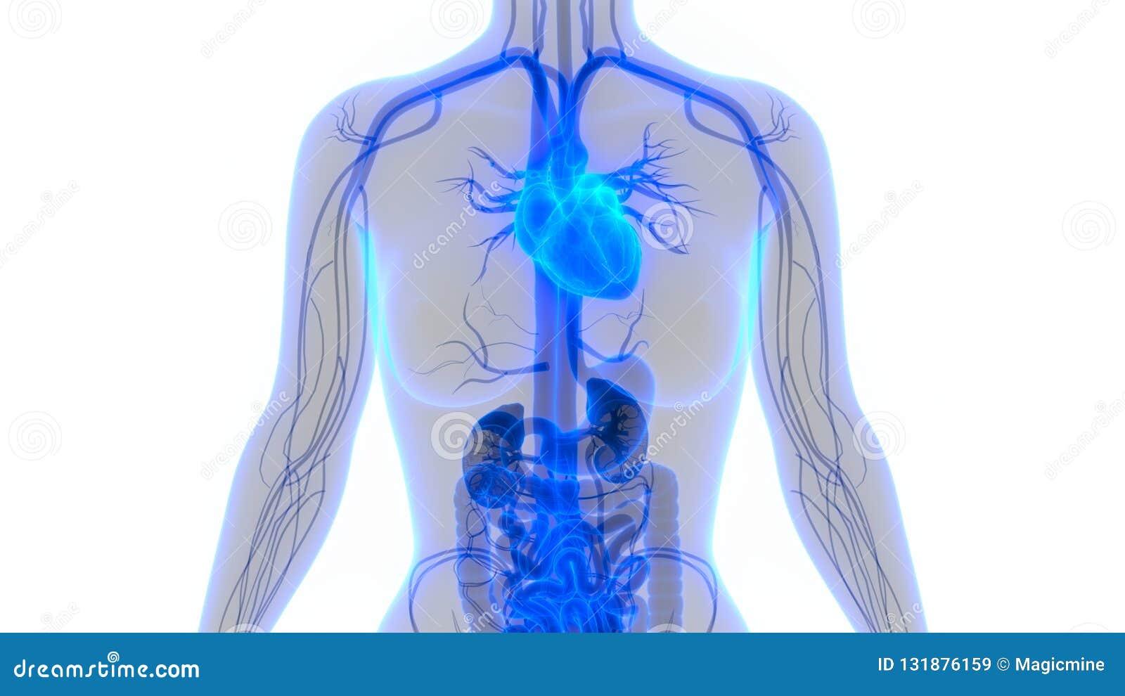 Human Body Organs Circulatory System With Heart Anatomy Stock