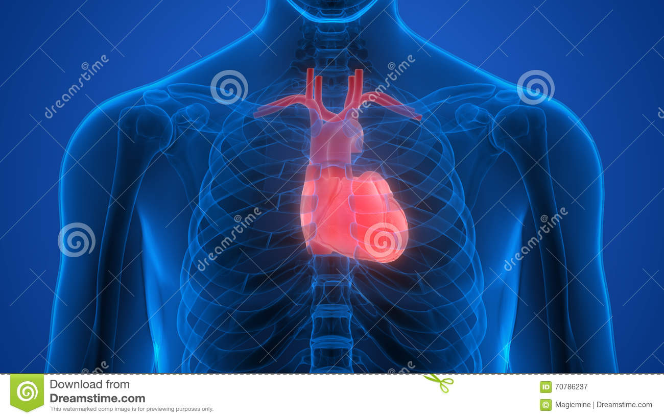 Human body organs heart stock illustration image of for Interieur du corps humain image