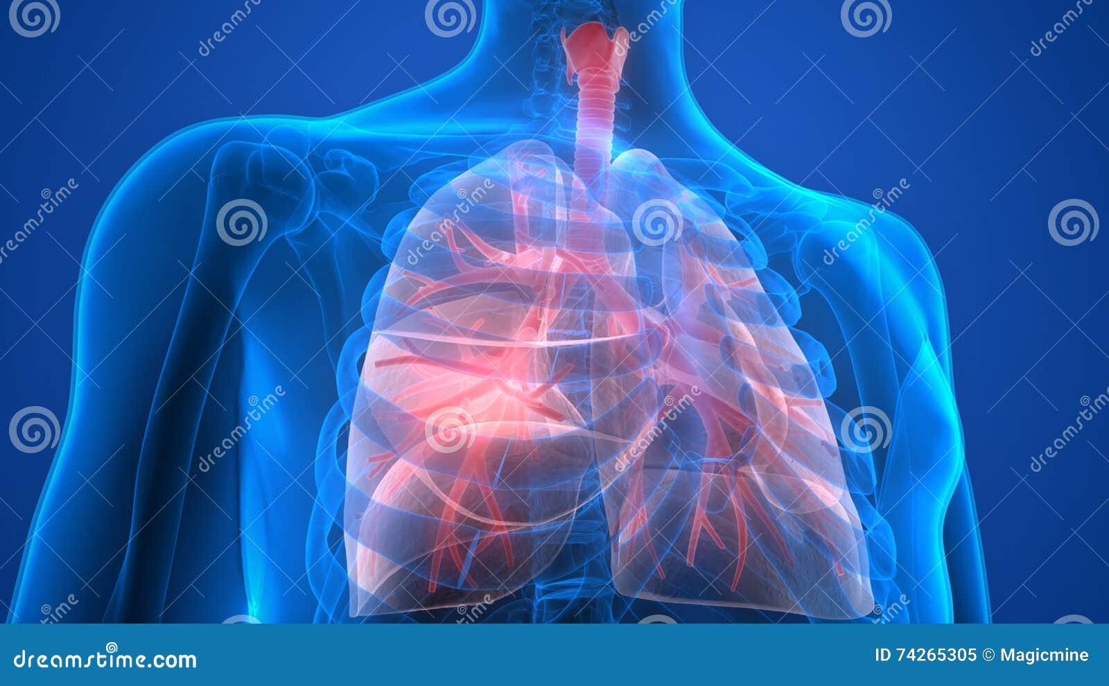 Human Lungs Anatomy Cartoon Vector Cartoondealer 72820283