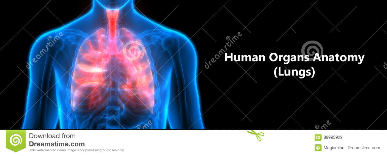 Human Body Organs Lungs Anatomy Stock Illustration Illustration Of