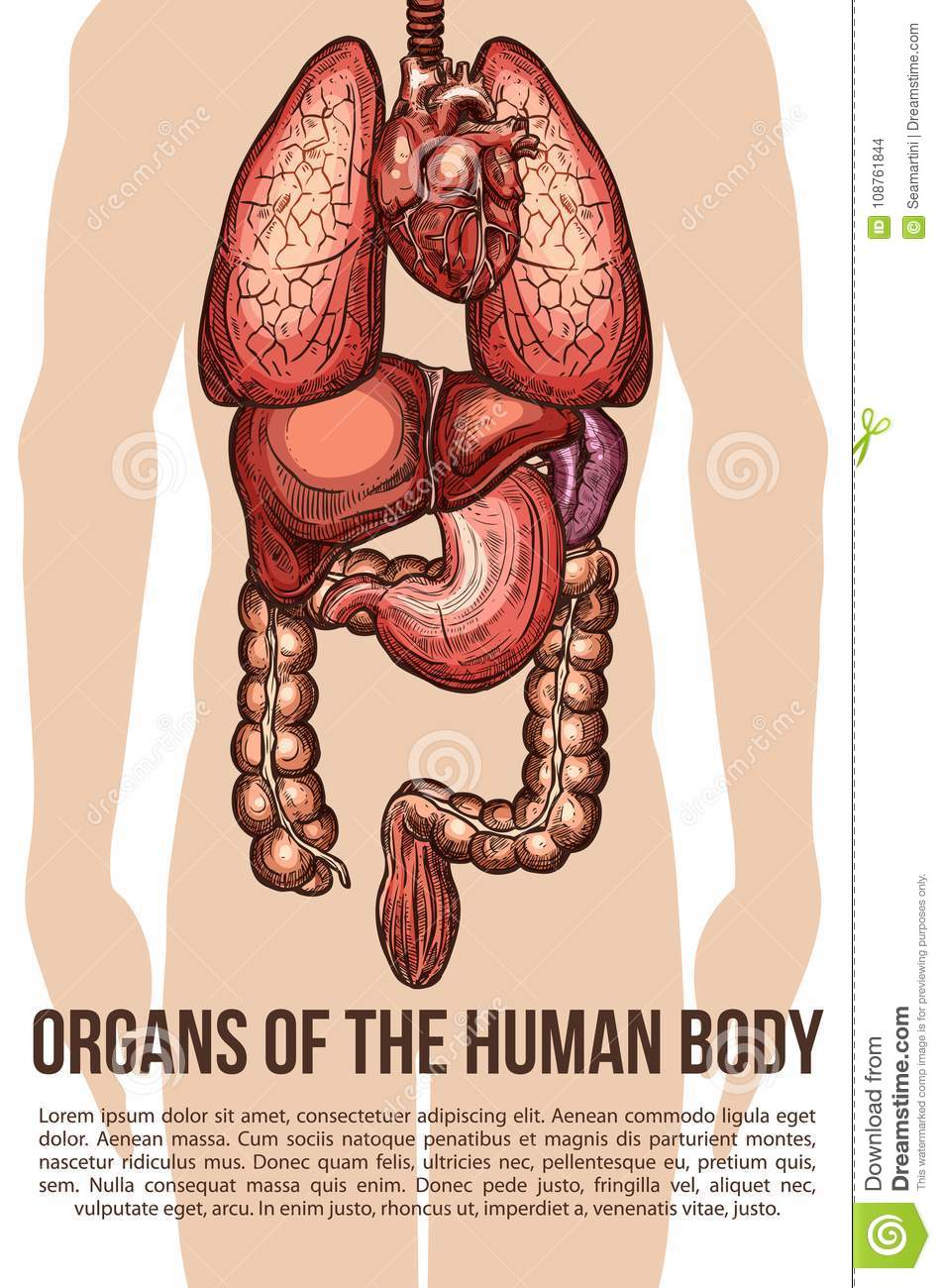 Human Organs Body System Vector Sketch Poster Stock Vector ...