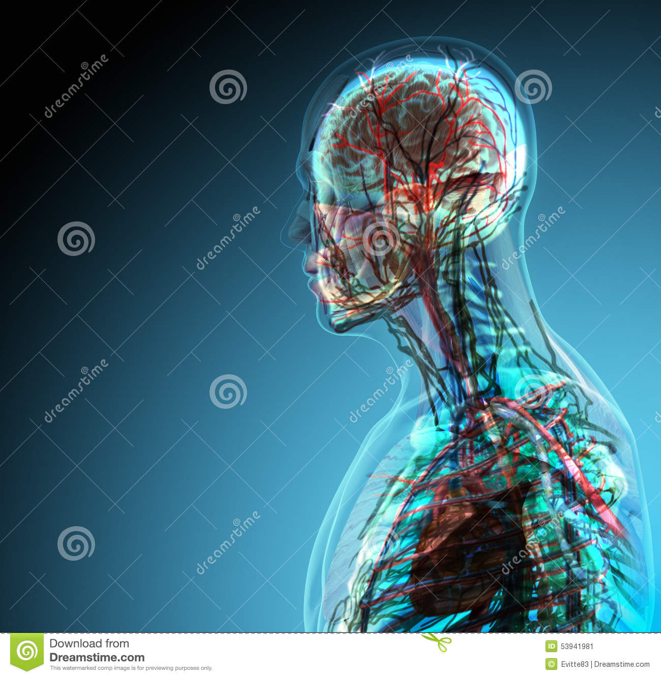 The human body (organs) by X-rays on blue background