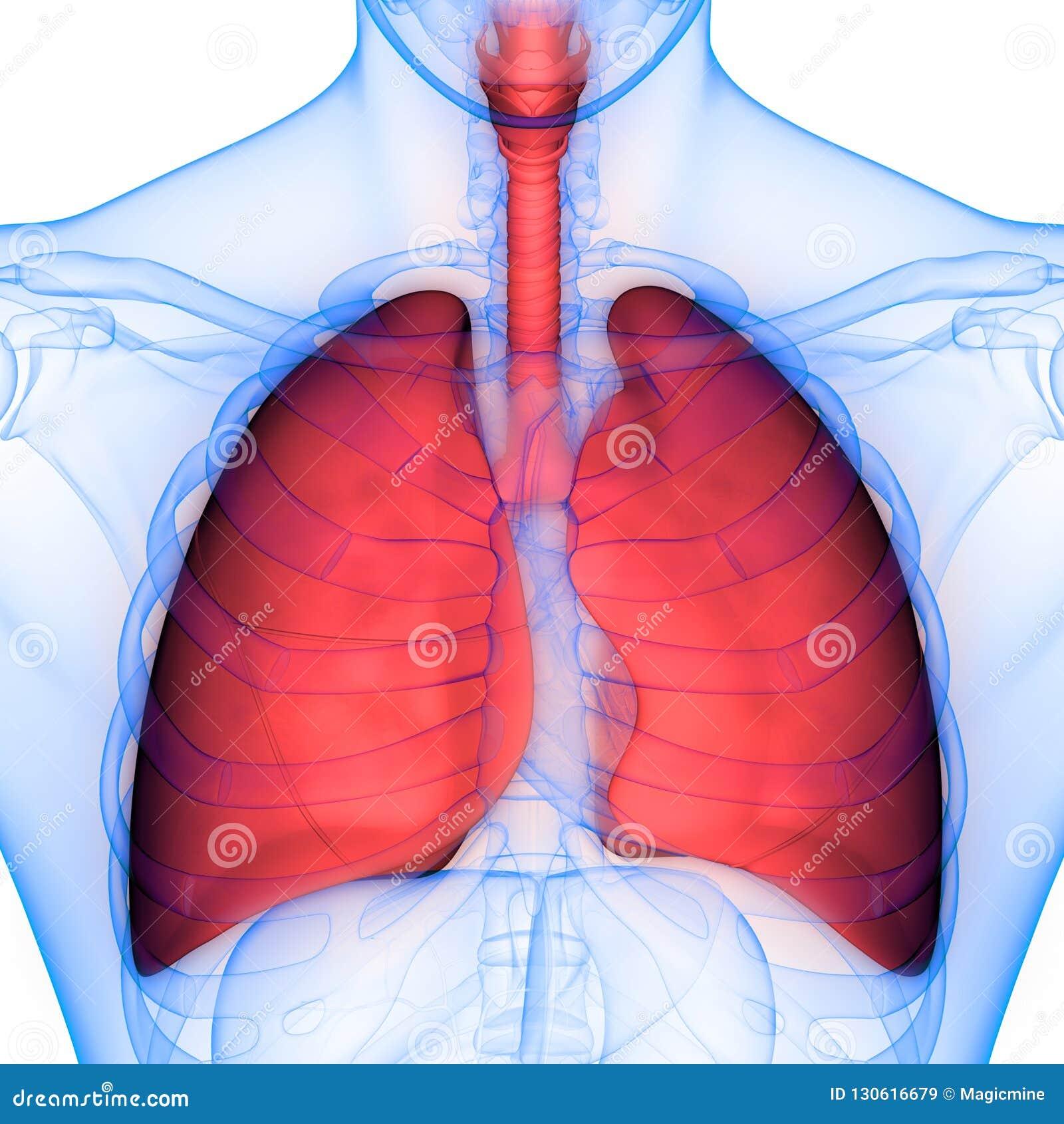 Human Body Organs Respiratory System Lungs Anatomy Stock