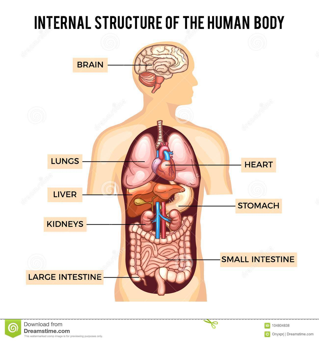 Human Body And Organs Systems Vector Infographic Stock Vector