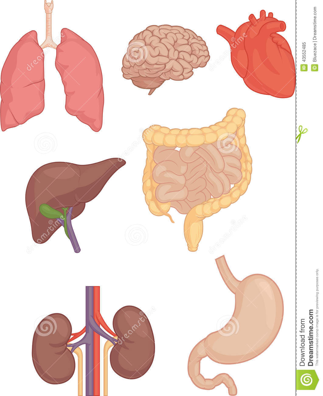 Human Body Parts - Brain, Lung, Heart, Liver, Intestines Stock ...