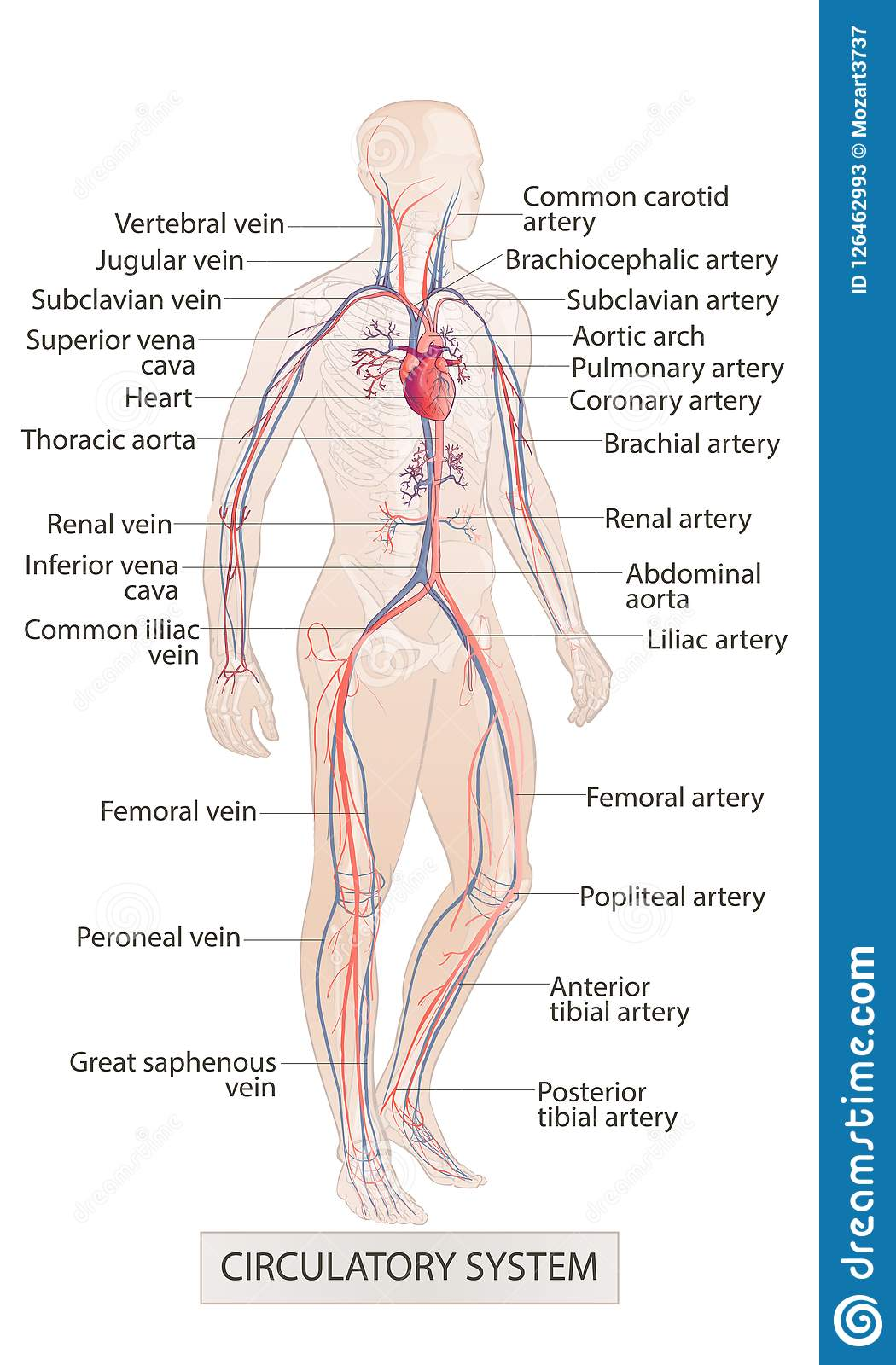 Circulatory Vascular System Human Body Parts Man Anatomy Hand