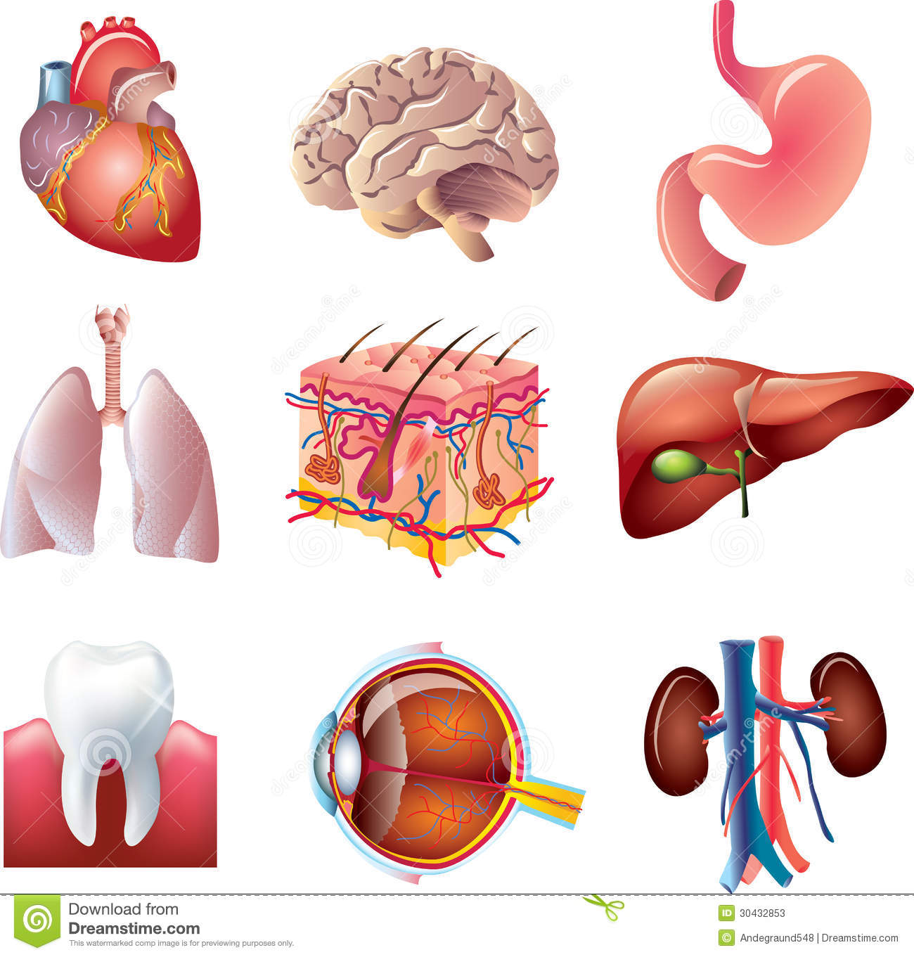 Human Body Parts Set Stock Vector Illustration Of Lung 30432853