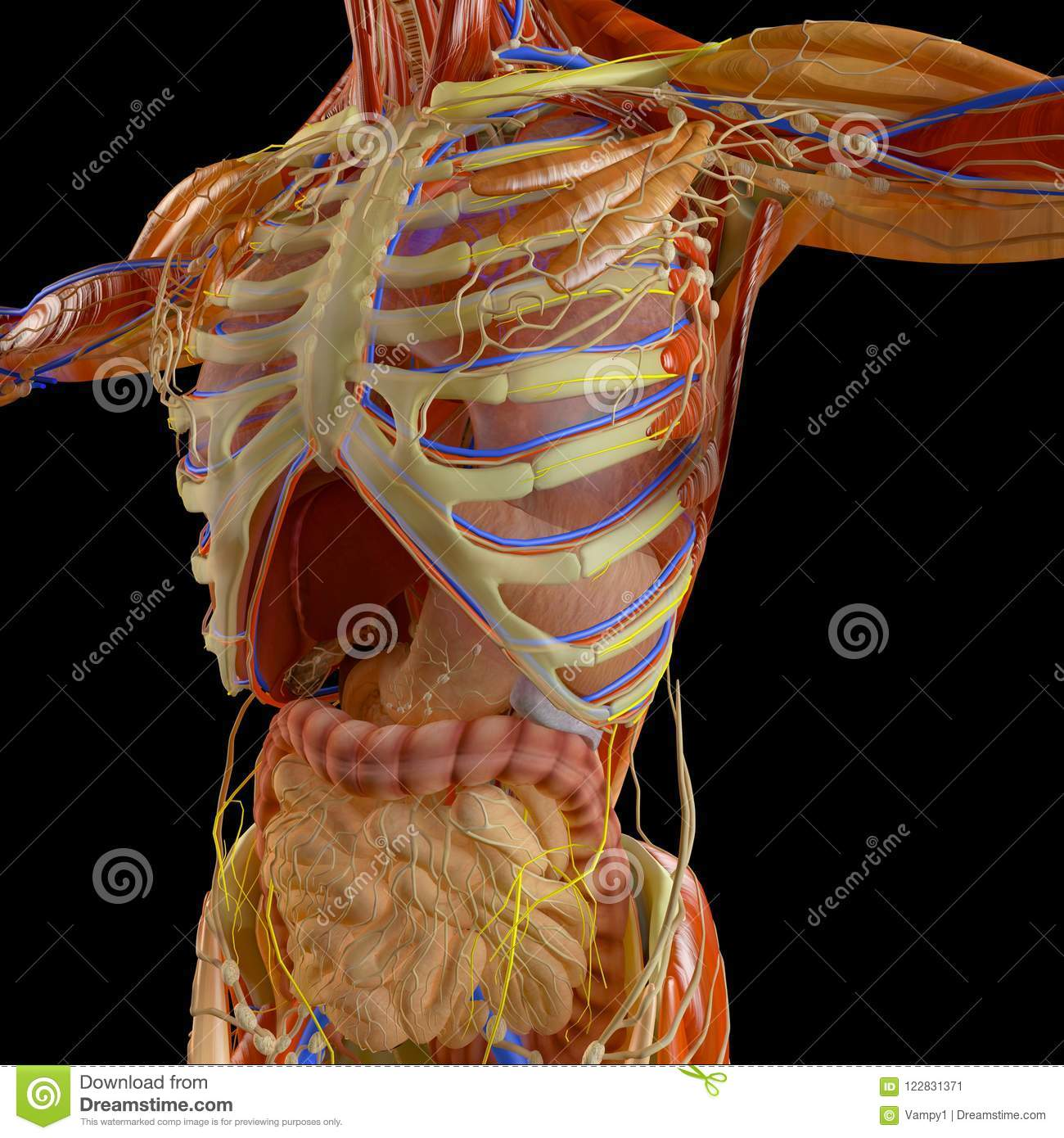 Human Body, X-ray View Of The Respiratory Apparatus And Digestive ...