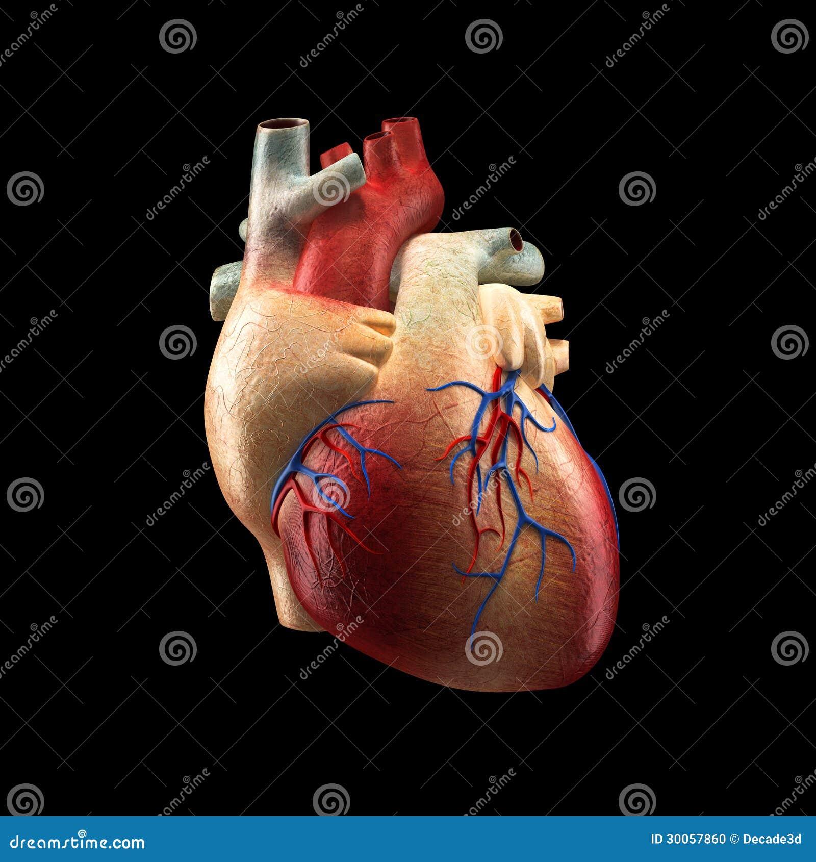 Real Heart Isolated On Black Human Anatomy Model Stock