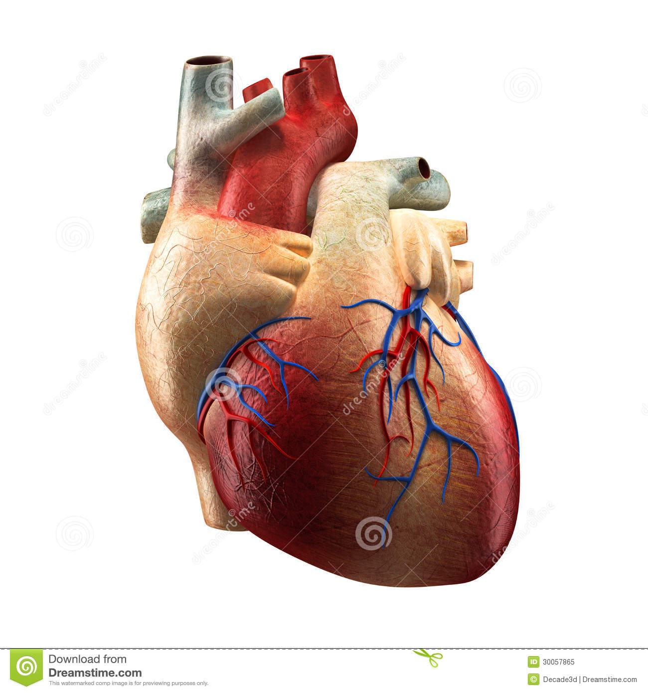 Real Heart Isolated On White Human Anatomy Model Stock