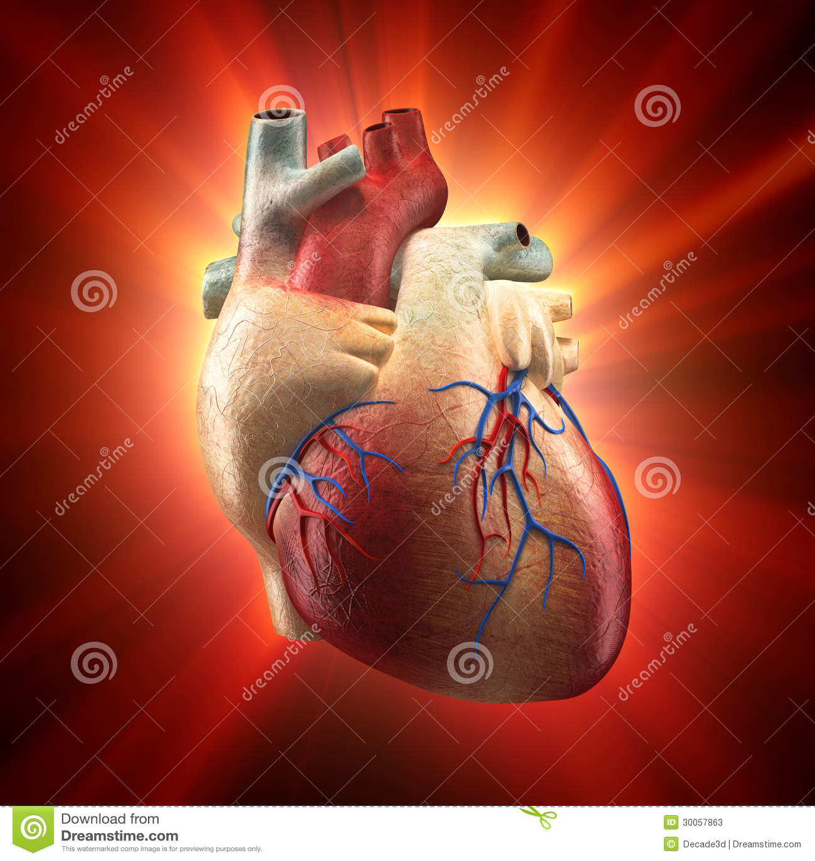 Real Heart Shinning In Light Human Anatomy Model Stock
