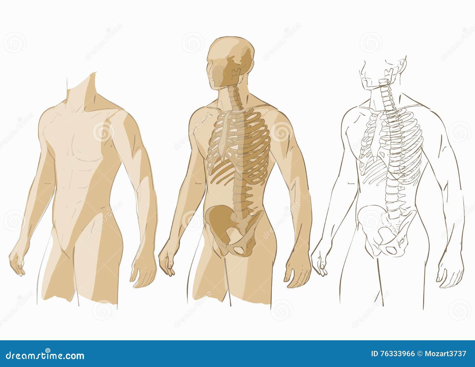 Human Body And Skeleton Stock Vector Illustration Of Pelvis 76333966