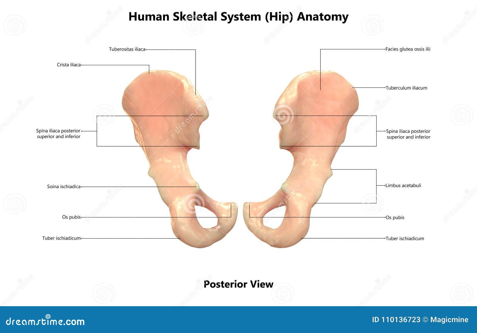 Human Body Skeleton System Hip Posterior View Anatomy Stock