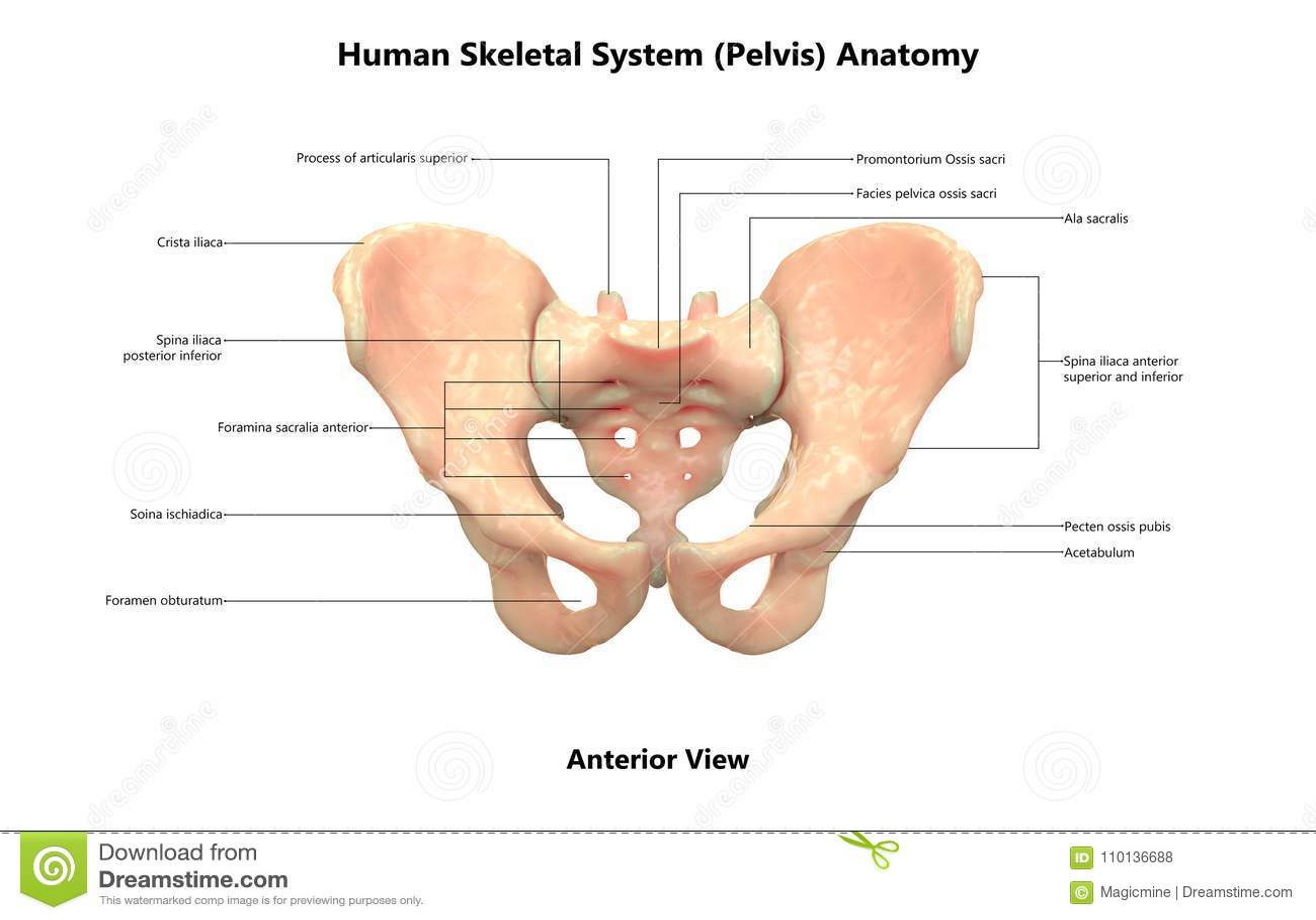 Human Body Skeleton System Pelvis Anterior View Anatomy Stock