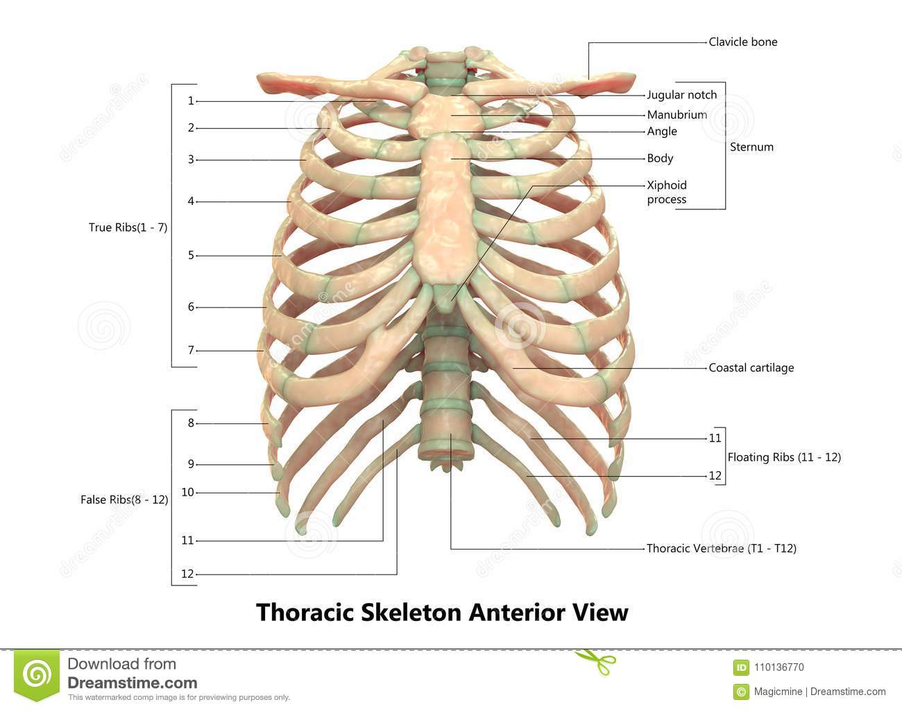 Human Body Skeleton System Thoracic Skeleton Anterior View Anatomy
