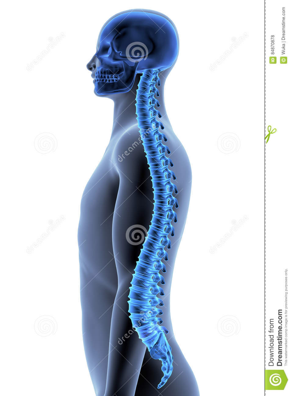 Human Body Bone Names  mon Bone Names Effortless Movement further Stock Illustration Human Body Spine Side View X Ray Effect D Illustration Image84870878 besides List Of Joints In The Human Body together with Diagram Of Internal Organs together with Miku Hatsune In Minecraft 317332859. on schematic of the human skeleton