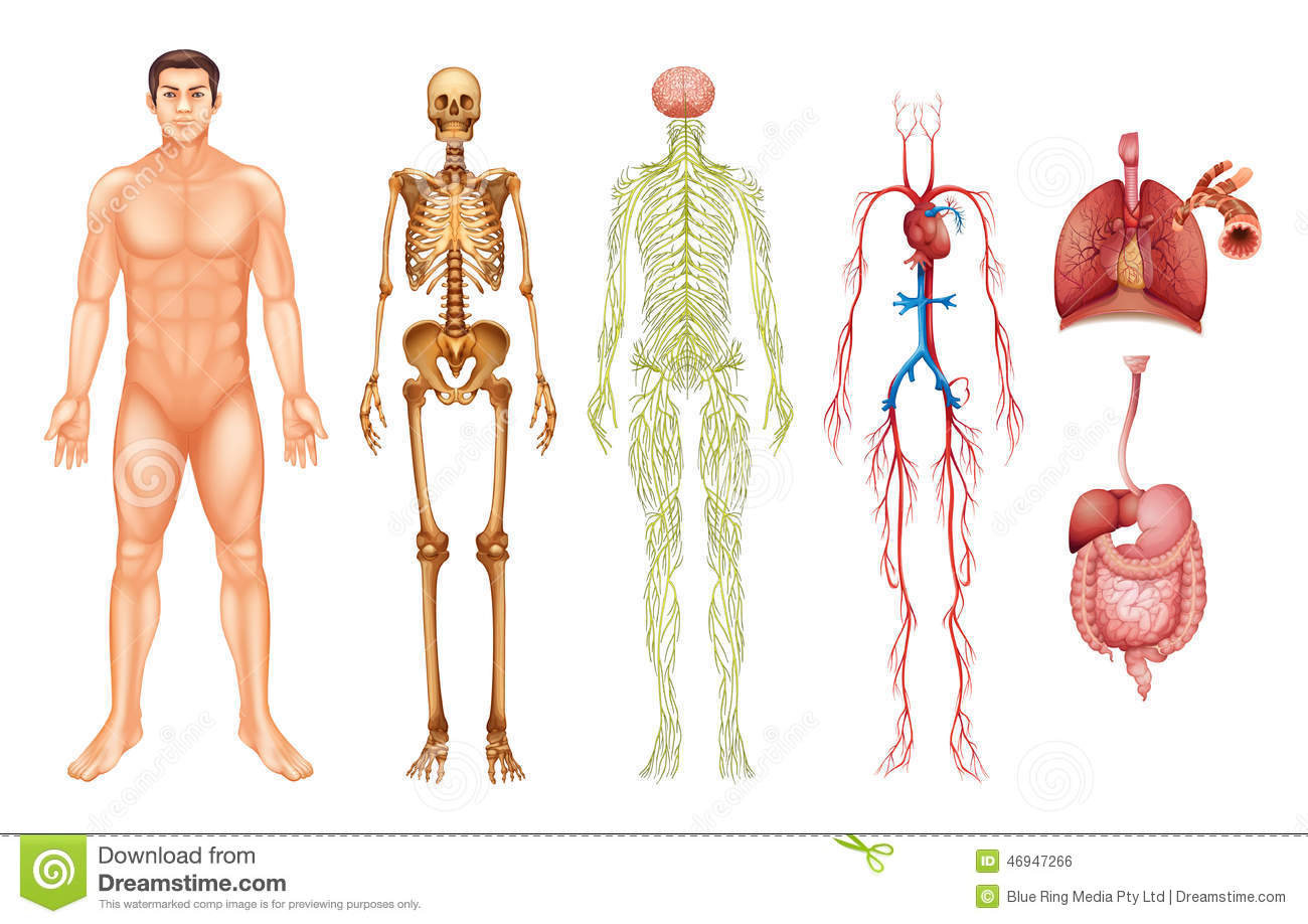 Human Body Systems Stock Vector Illustration Of Liver 46947266