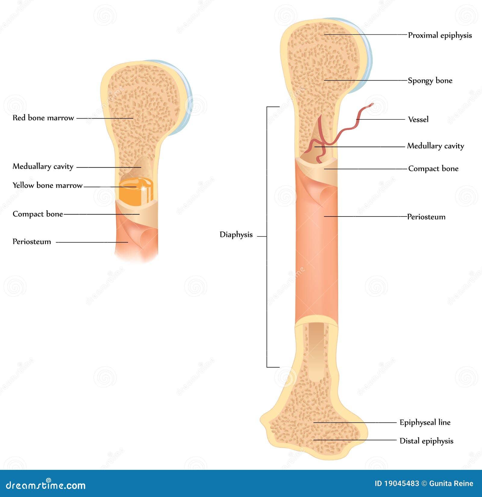 Human bone anatomy illustration showing detailed anatomy of human