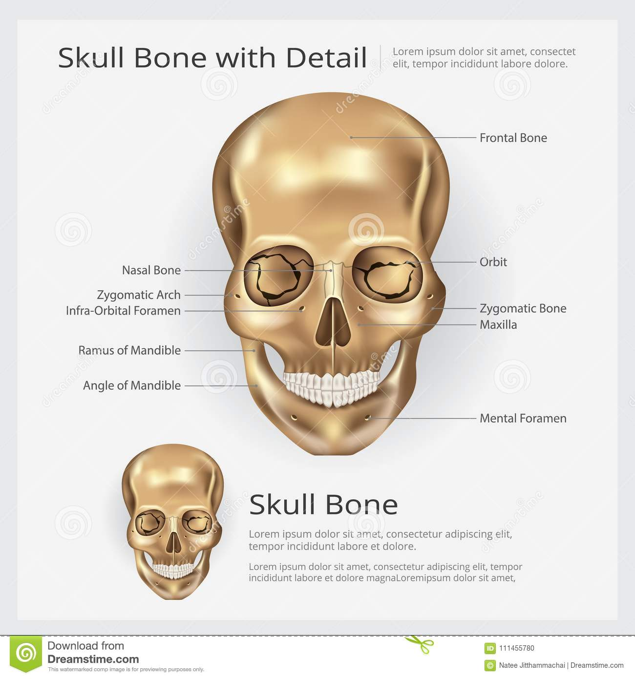 Human Bone Skull Anatomy Stock Vector Illustration Of Lateral