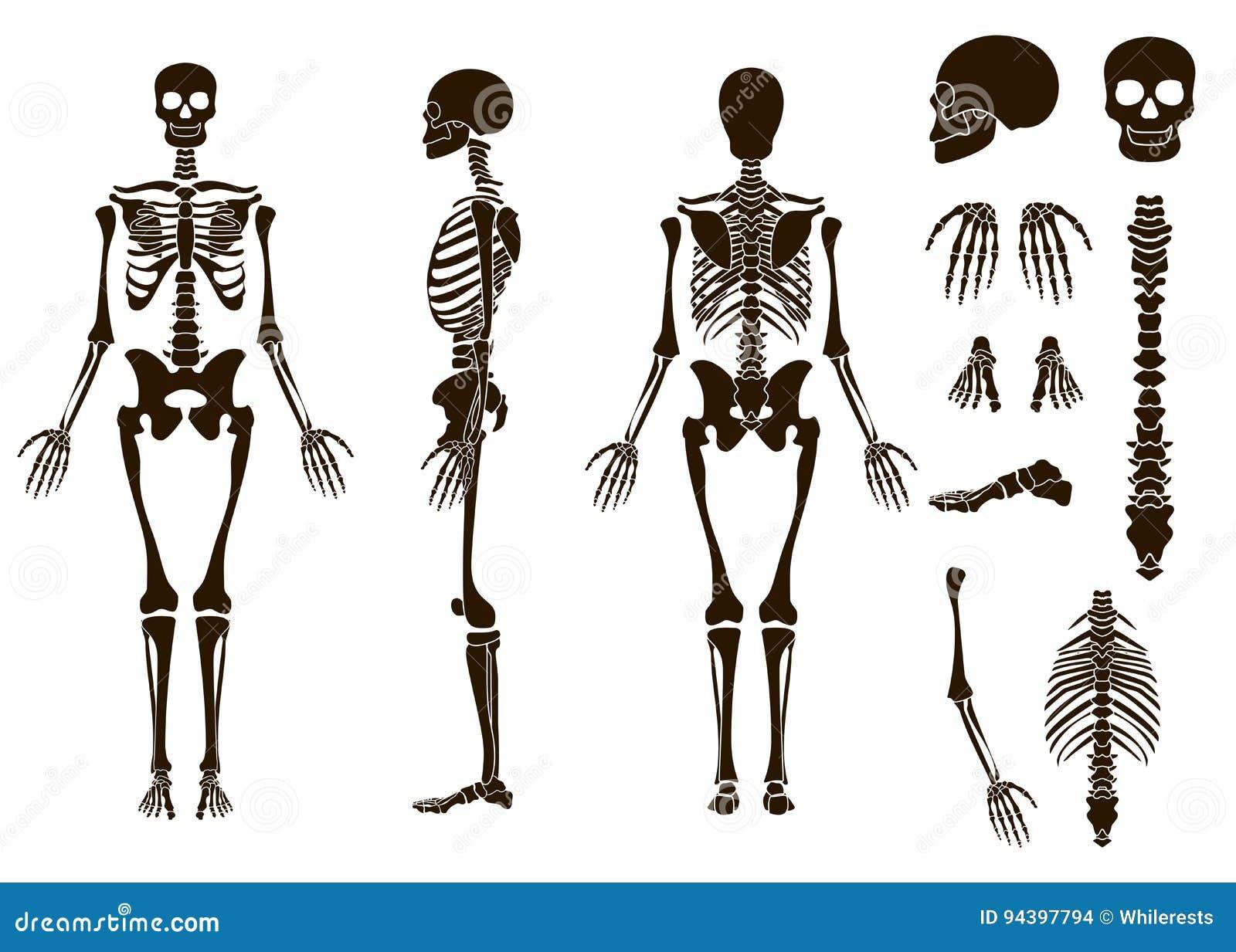 Human Bones Skeleton Structure Elements Set Skull Collection