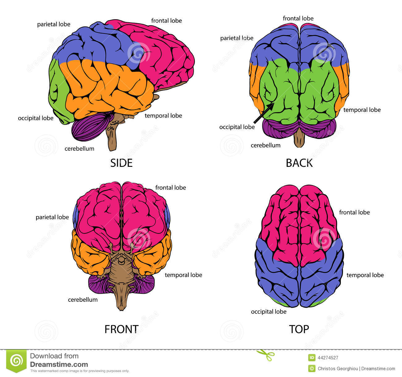 Human brain from all sides stock vector. Illustration of brain ...