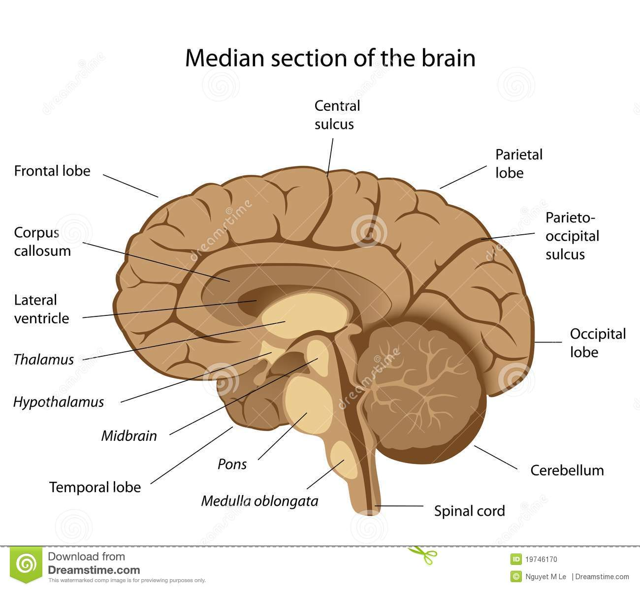 Human brain anatomy stock vector. Illustration of hypothalamus ...