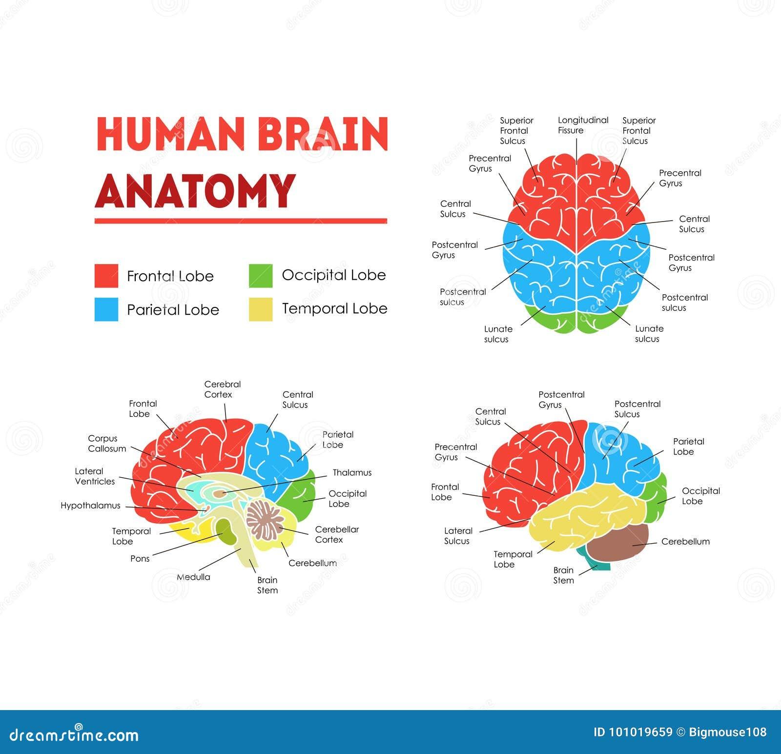 Cartoon Brain Diagram