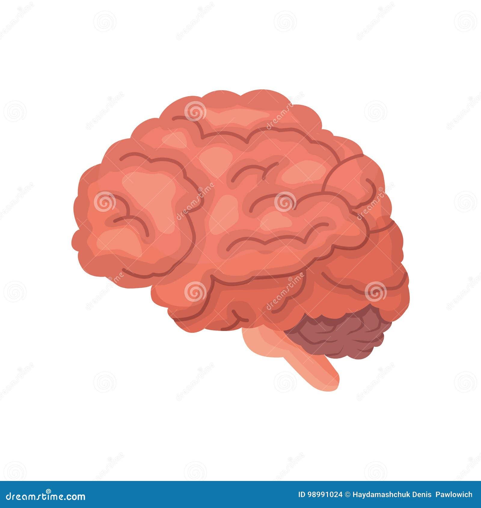 Human Brain Anatomy Cartoon Vector Icon Isolated Stock Vector