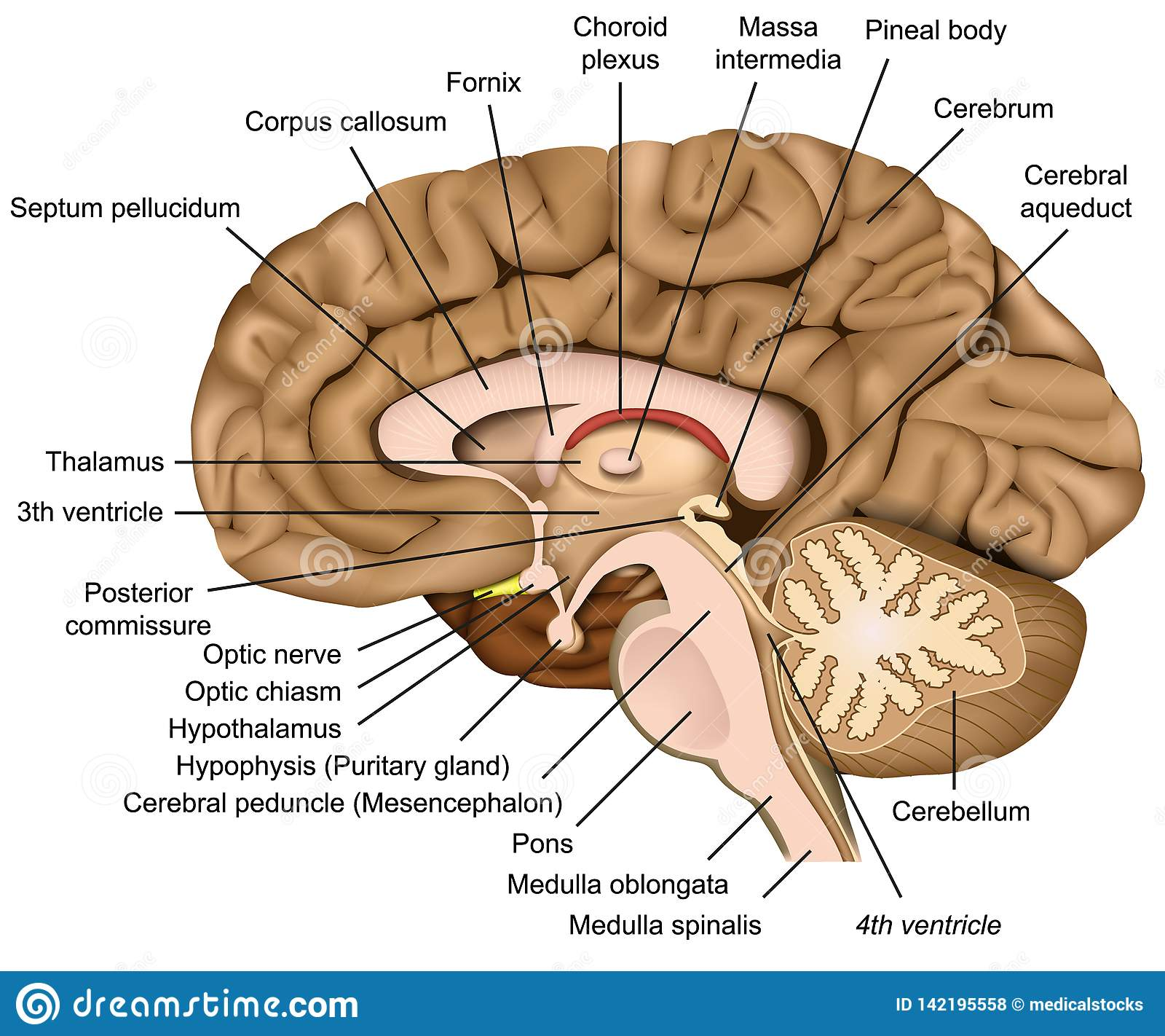 Human Brain Anatomy 3d Illustration On White Background ...
