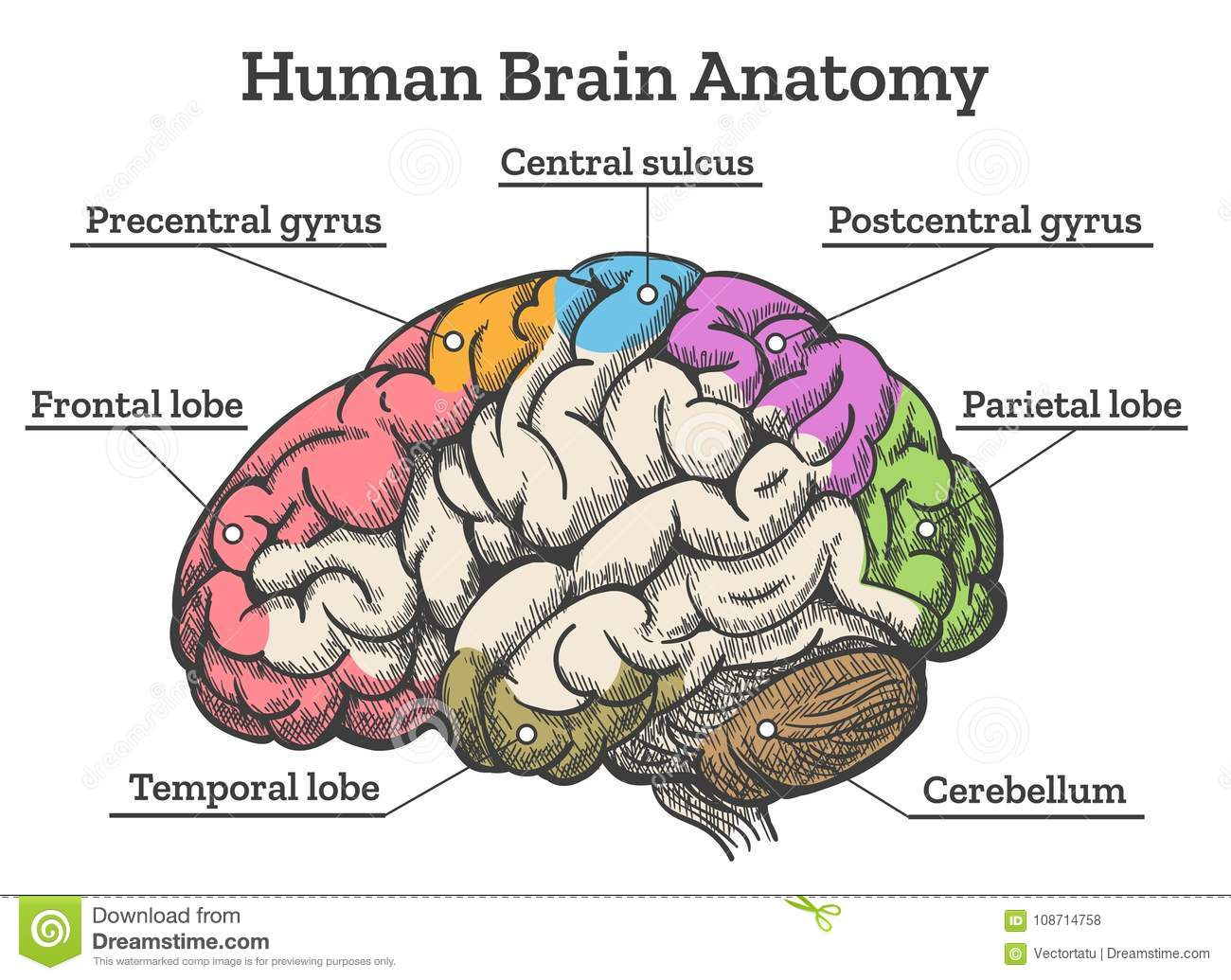 Brain Diagrams Free Download - Block And Schematic Diagrams •