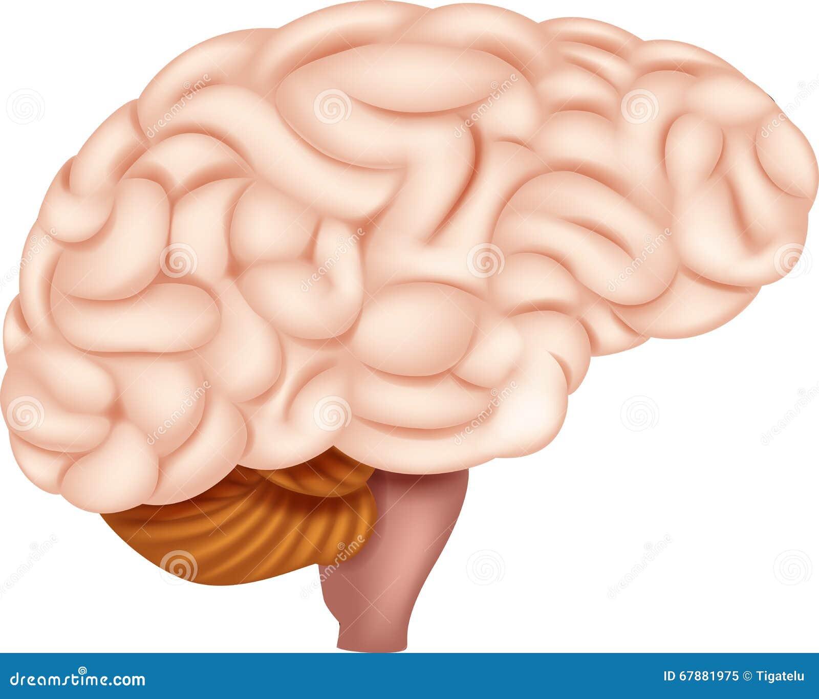 Human Brain Anatomy