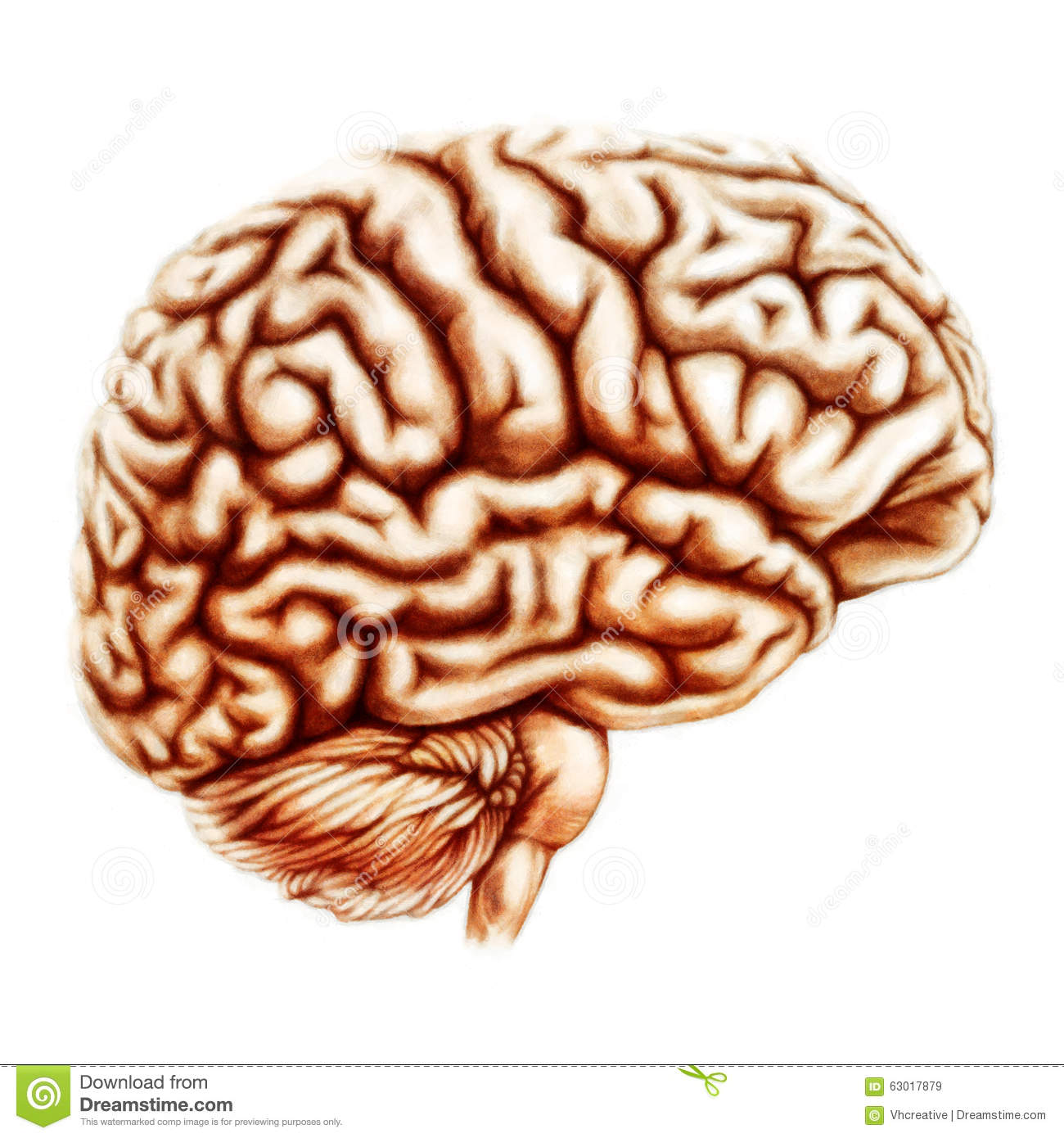 Human Brain Anatomy Illustration Stock Illustration - Illustration ...
