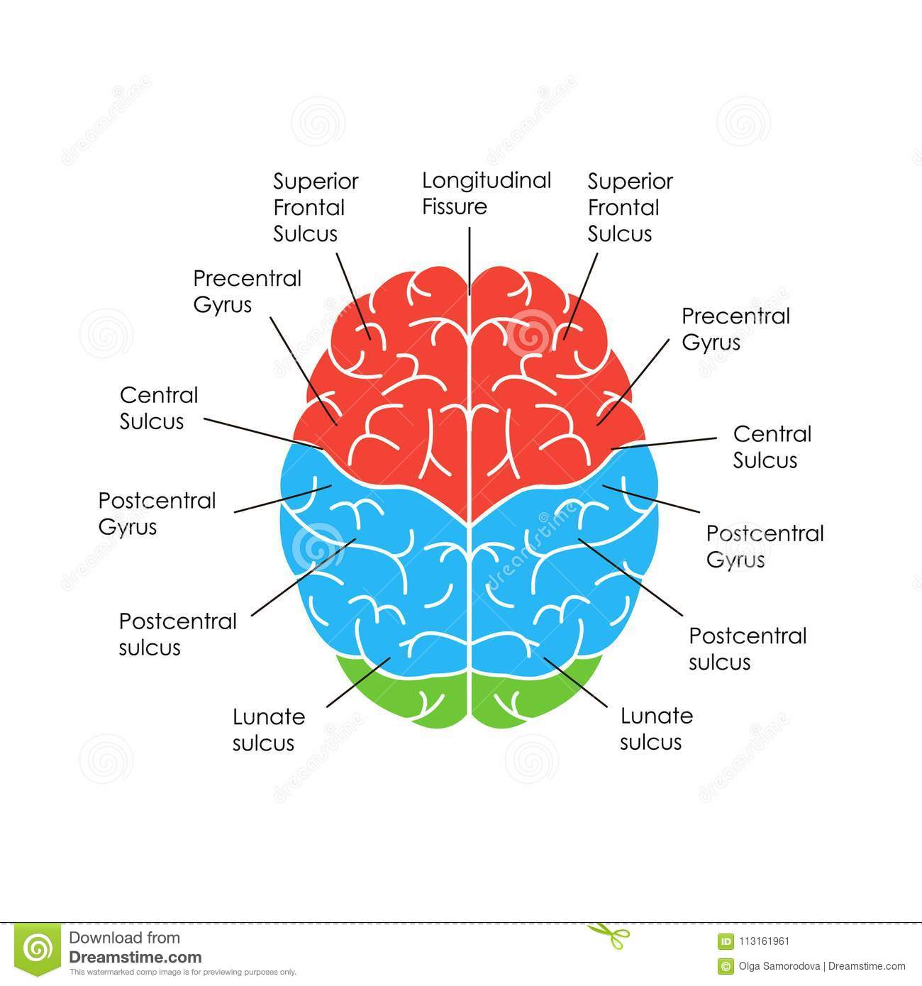 Human Brain Anatomy Card Poster. Vector Stock Vector - Illustration ...