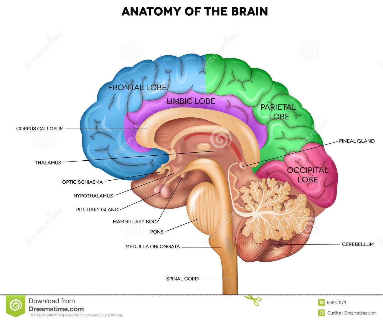 Human brain anatomy stock vector. Illustration of normal - 54987873