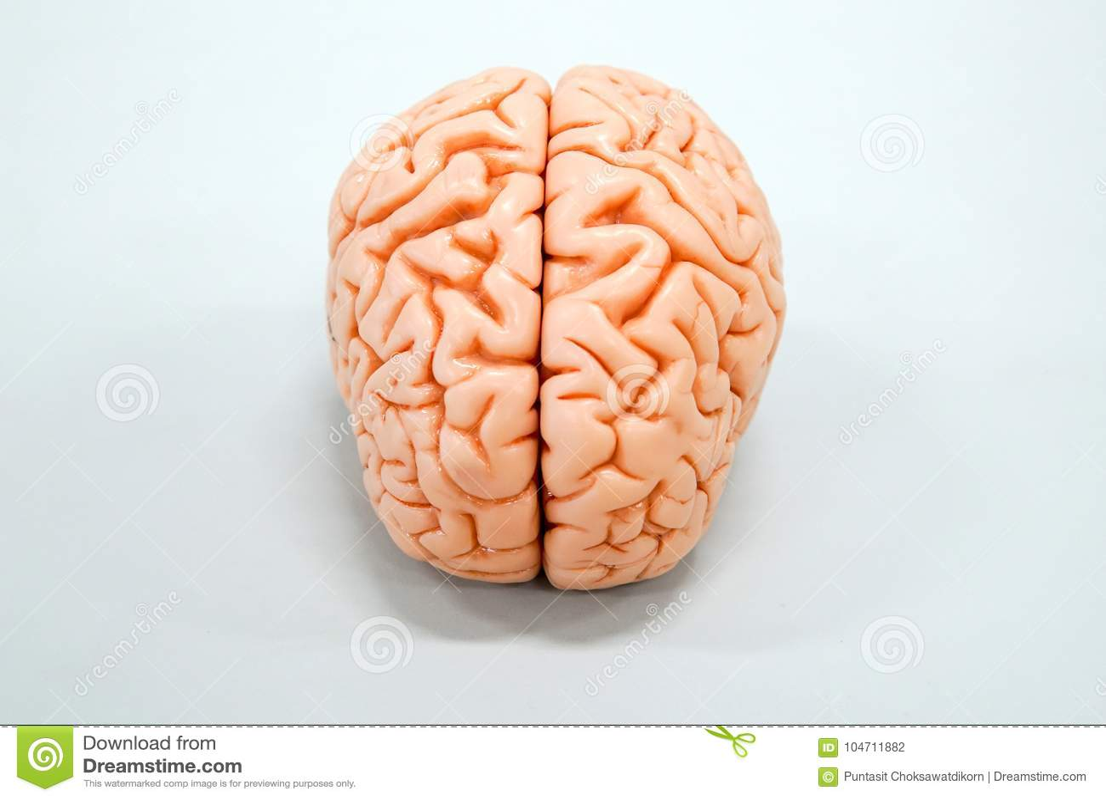 Human Brain Anatomy Model Stock Photo Image Of Anatomical 104711882