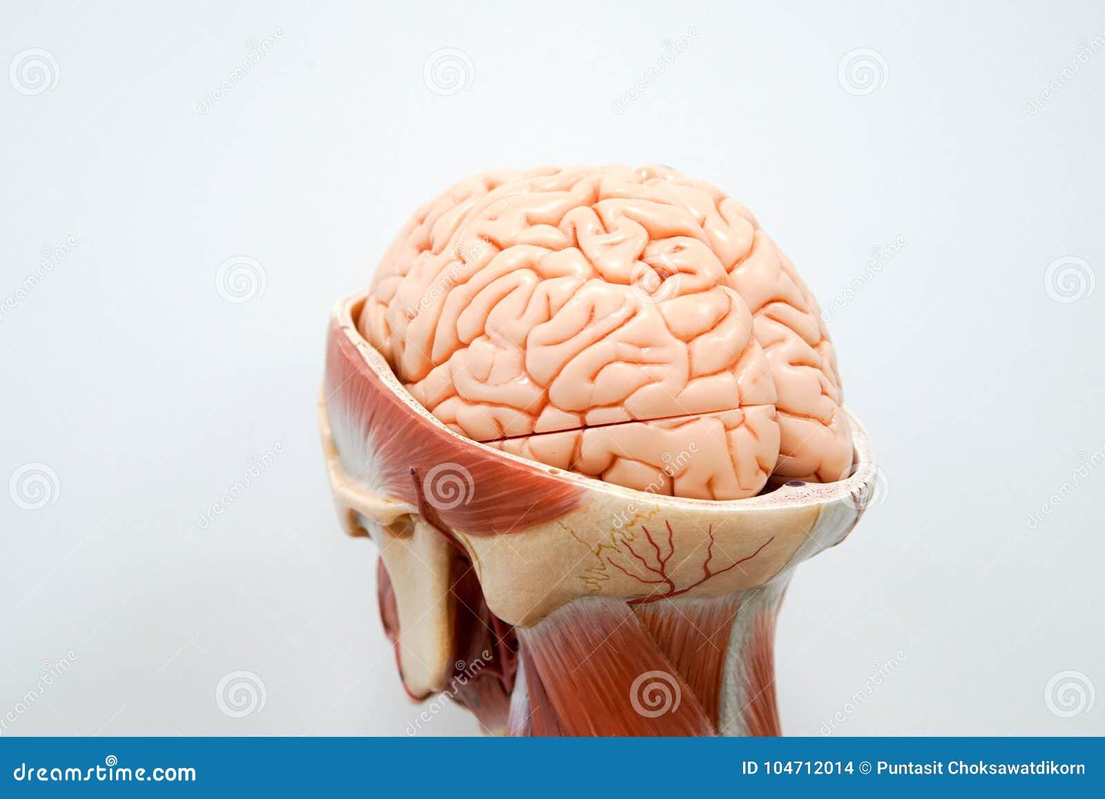 Human Brain Anatomy Model Stock Photo Image Of Diagram 104712014