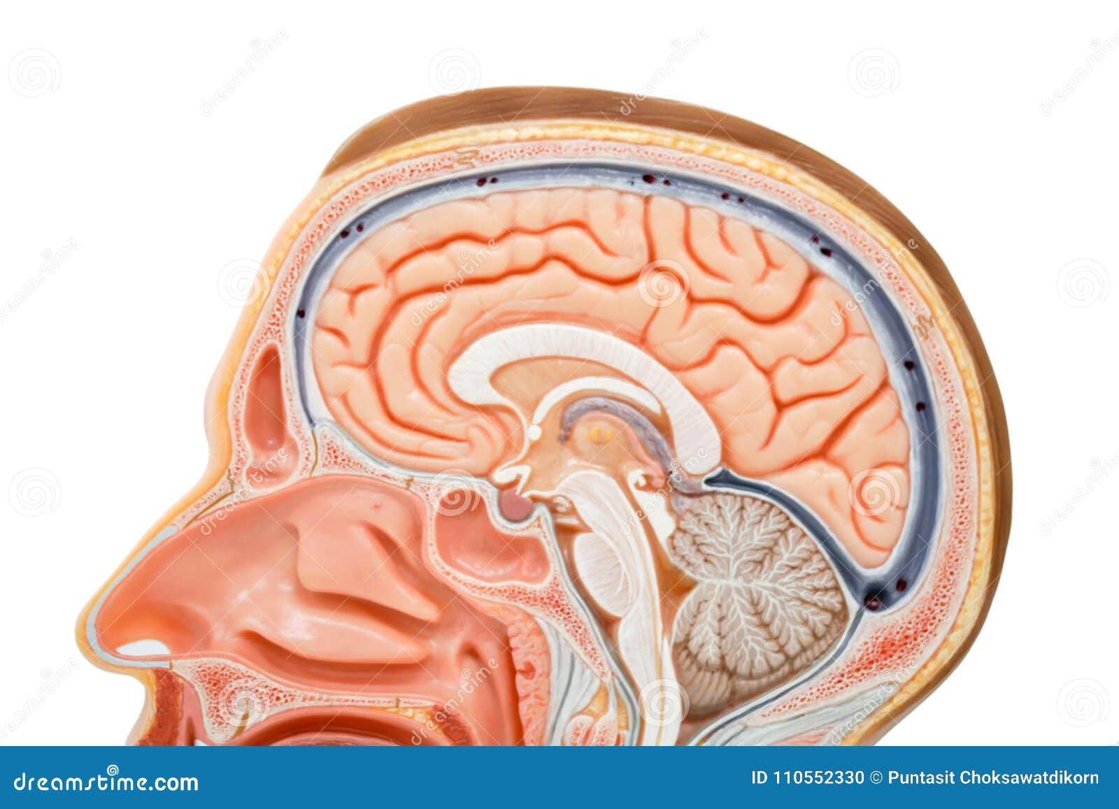 Human brain anatomy model stock photo. Image of lateral - 110552330