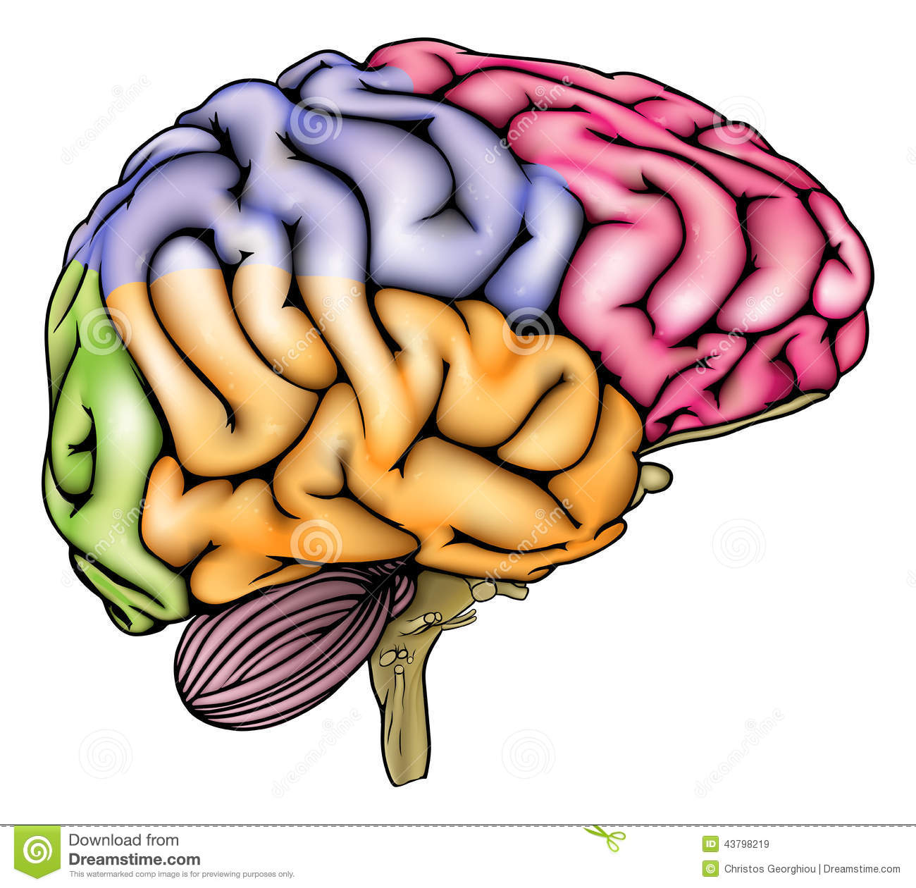 Human Brain Anatomy Sectioned Stock Vector - Illustration of ...