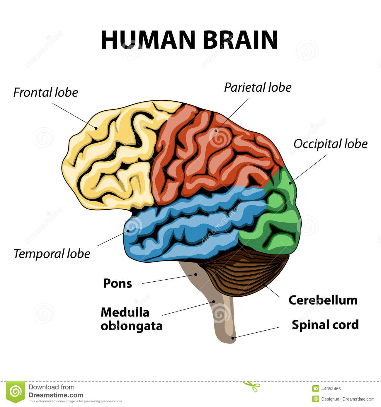Human brain anatomy stock vector. Illustration of diagram - 44353466