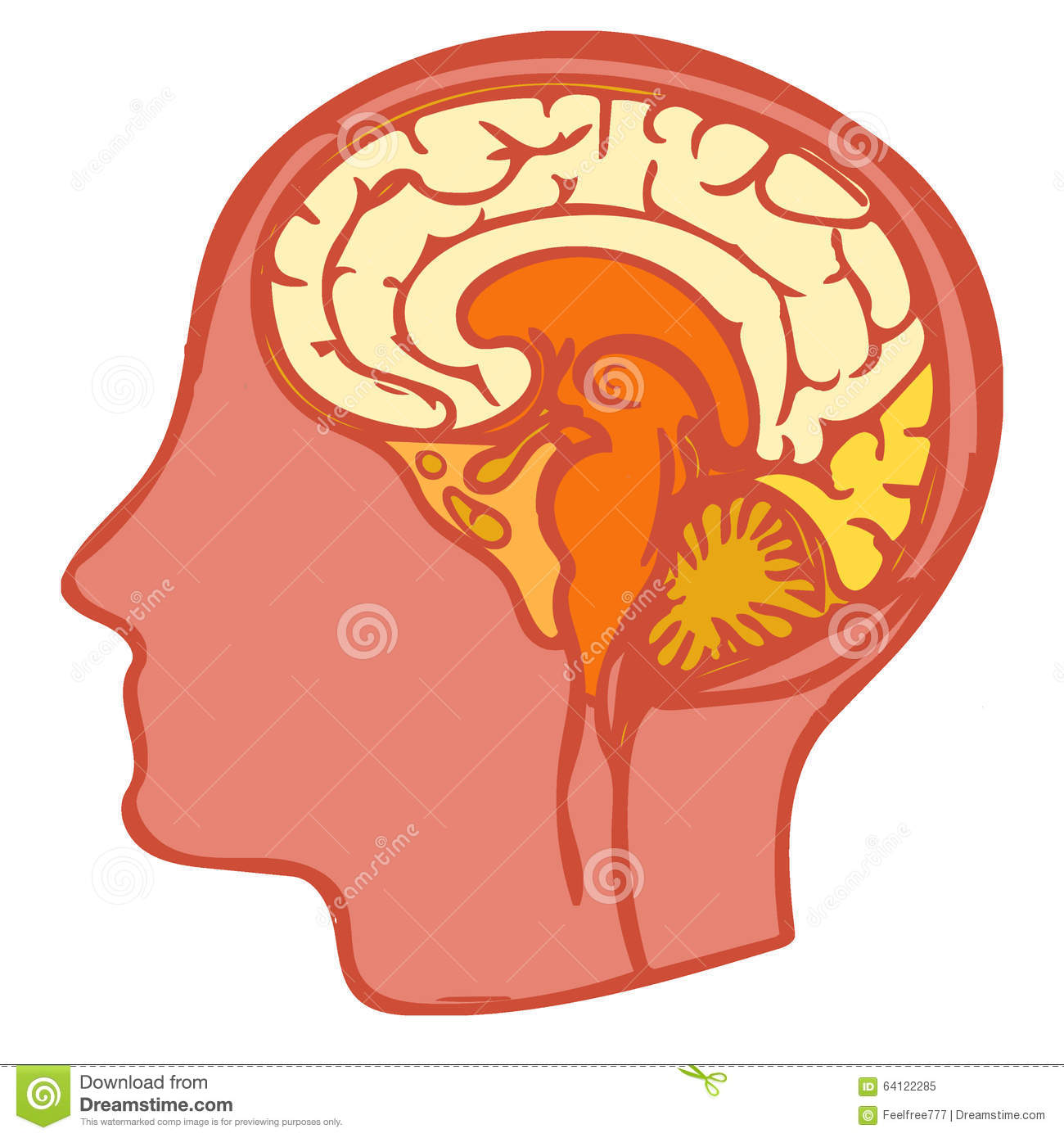 Human Brain Anatomy Stock Illustration Illustration Of Head 64122285