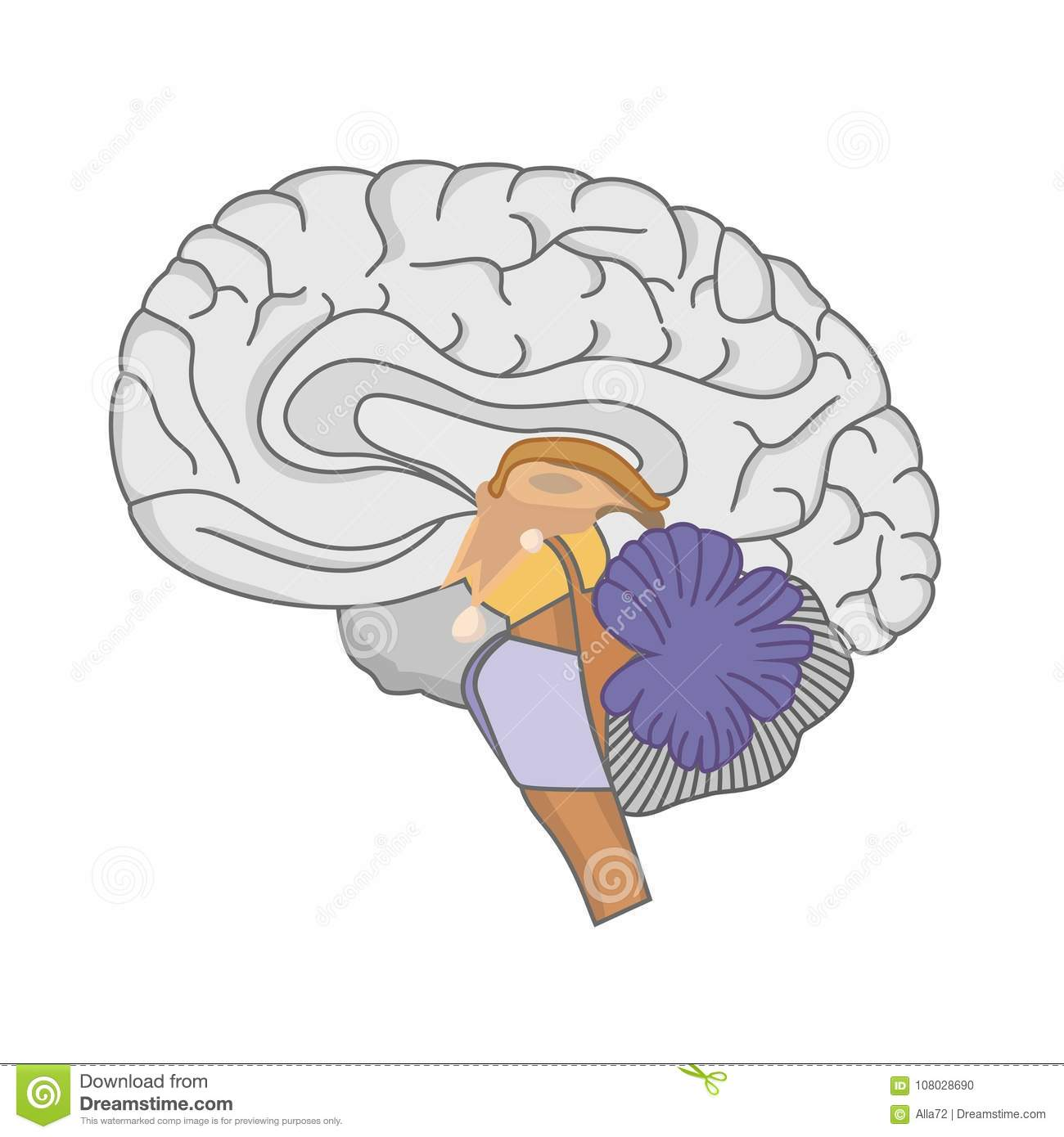 Human Brain Anatomy Human Brain On White Background Stock Vector