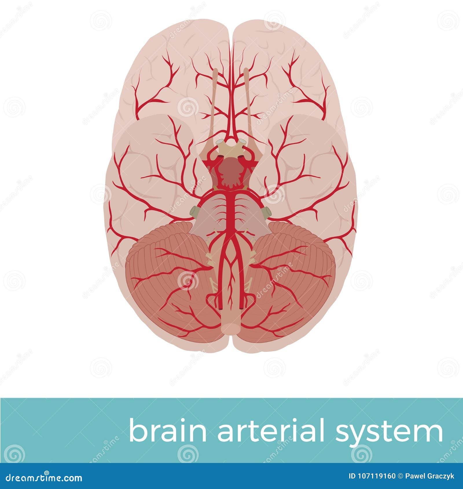 Human Brain Arterial System Stock Vector Illustration Of White