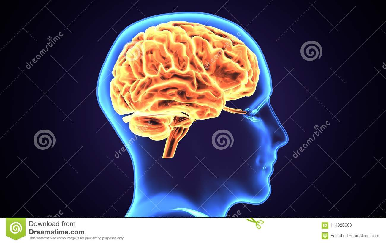 3d Illustration Of Human Body Brain Anatomy Stock Illustration ...