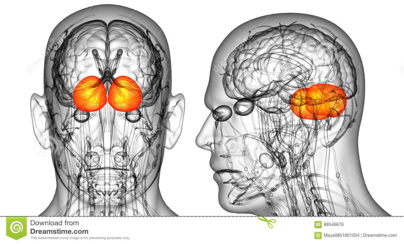 Human Brain Cerebrum Stock Illustration Illustration Of Hyppocampus