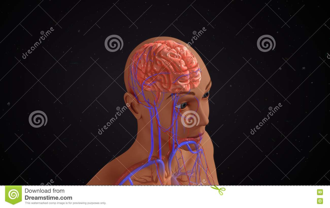 human brain stock photo - image: 73449811, Muscles