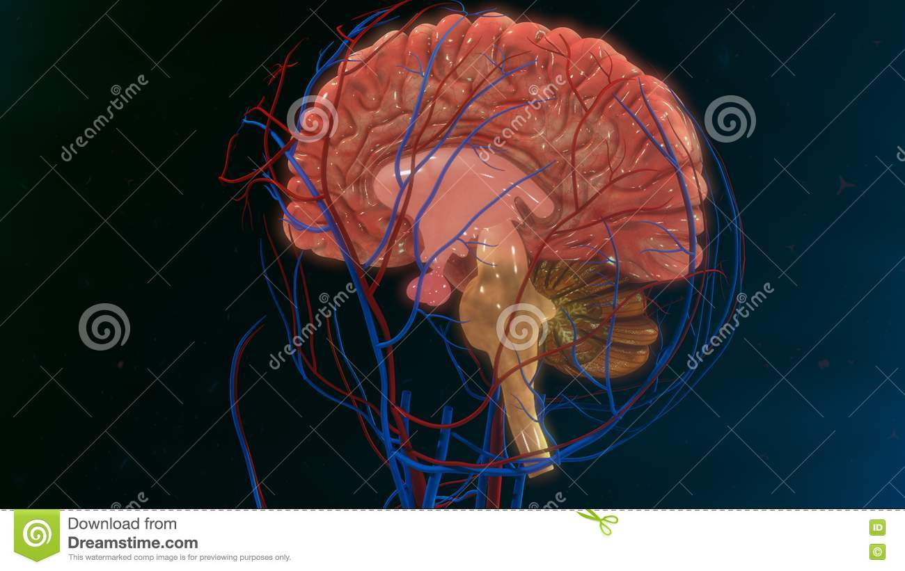 human brain stock illustration - image: 73450787, Muscles